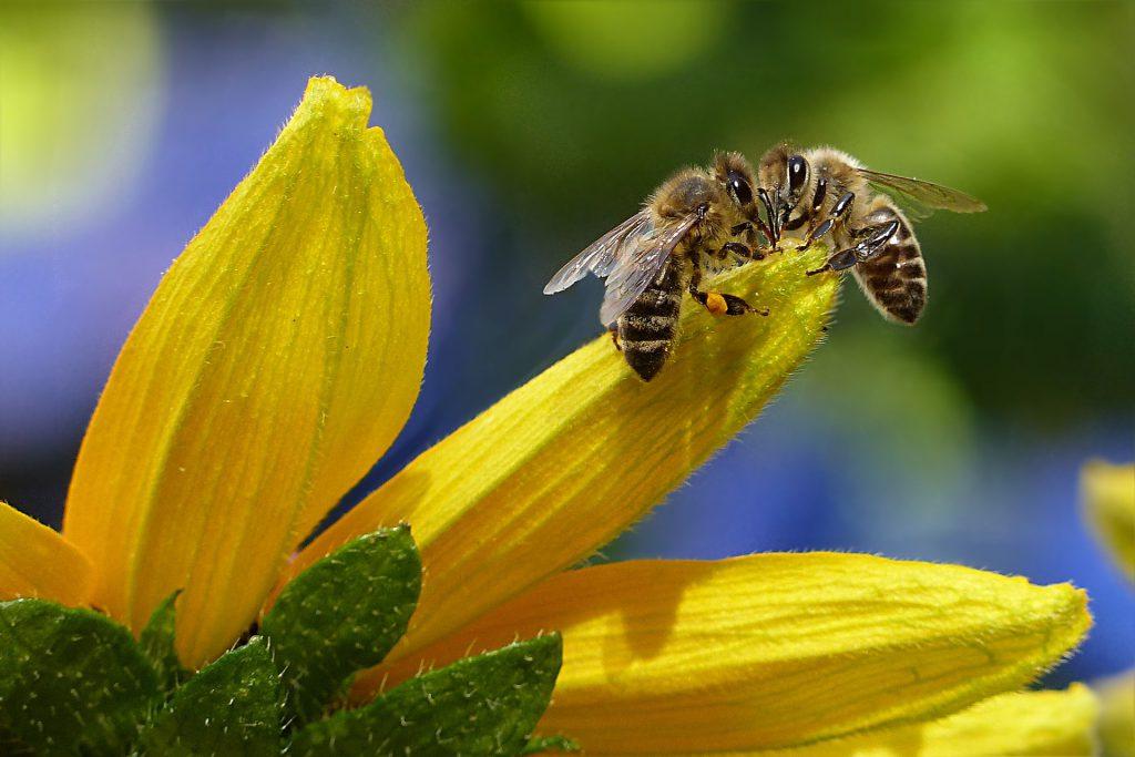 Bienen auf Blütenblatt