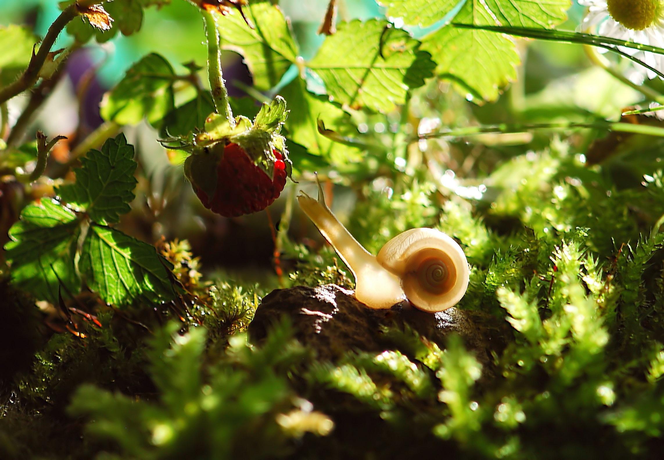 Schnecke und Erdbeere